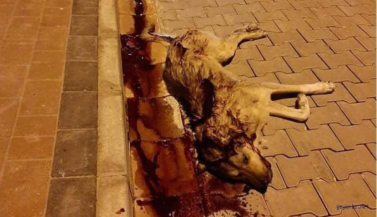 Ezine'de köpek katilleri iş başında! Emniyet nerede?